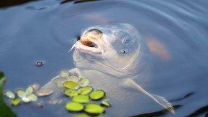 Wenn Sie Fische in den Schwimmteich einfügen, muss der Teich noch etwas größer und tiefer werden.