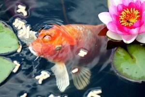 Der Goldfisch ist sehr gesellig im Fischteich
