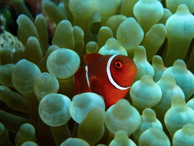 Eine tolle Unterwasseraufnahme eines Clownfisches