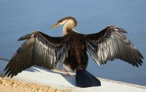 Vogel bei der Sonnentrocknung mit ausgebreiteten Flügeln