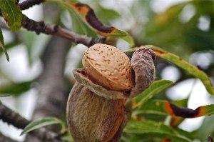 Mandelfrucht an einem Baum