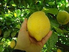 Zitrone wird frisch vom Baum geerntet