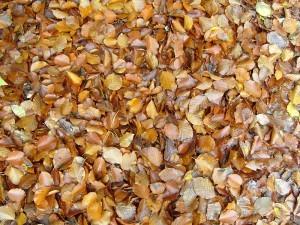 Herbst Buchenlaub