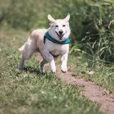 Sollten Hunde auf dem Laufband laufen?