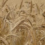 Lohnt es sich Getreide mit einer Getreidemühle selbst zu mahlen?