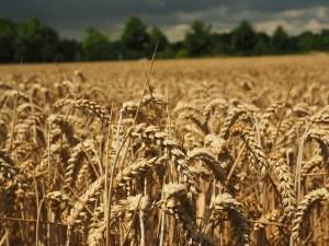 Das erste Getreide wurde 10.000 v.Chr. angebaut.