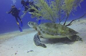 Meeresschildkröte beobachtet Taucher
