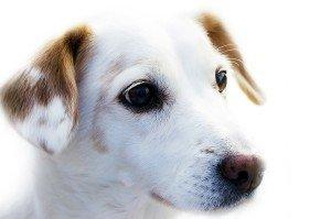 Hund Weiss Braun