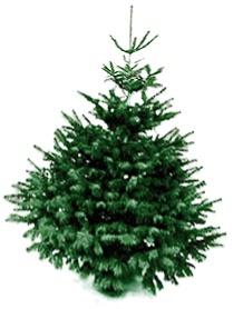 christbaum-nordmanntanne