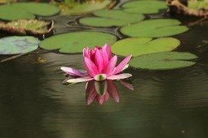 Teich Lilie