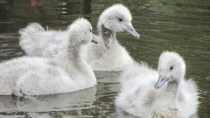 Enten mit Daunenfedern für die Daunendecke auf dem Teich