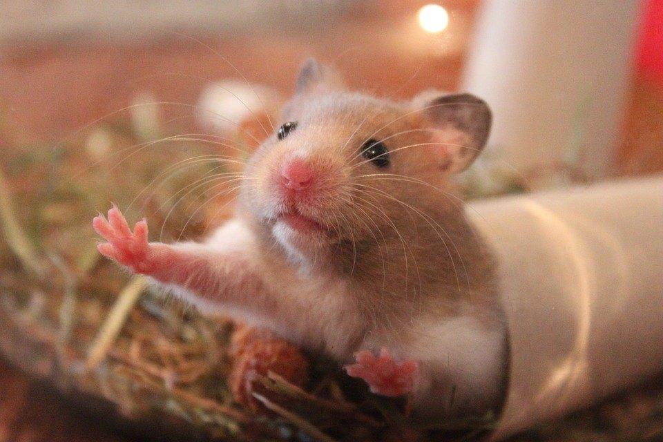 Hamster 1000846