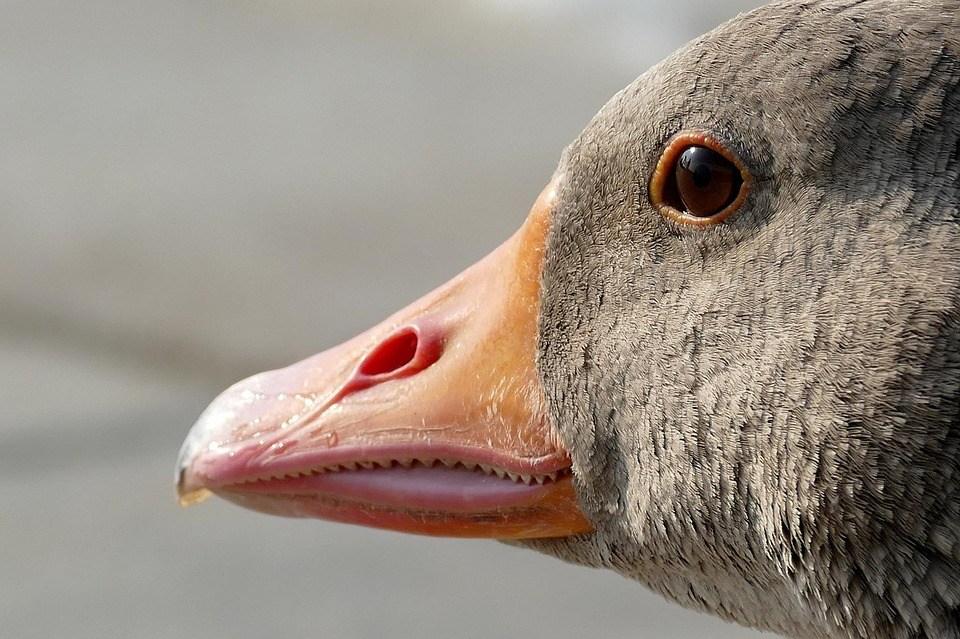 Goose 1556424