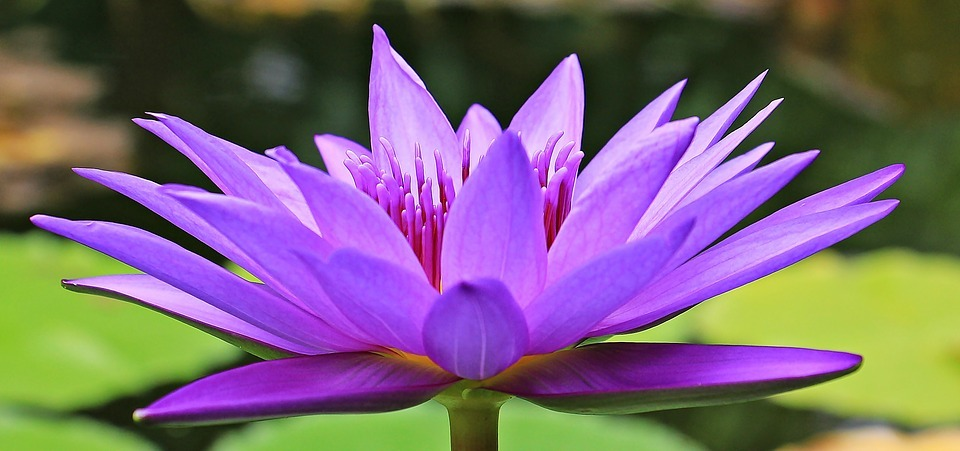 water-lily-1585178_960_720
