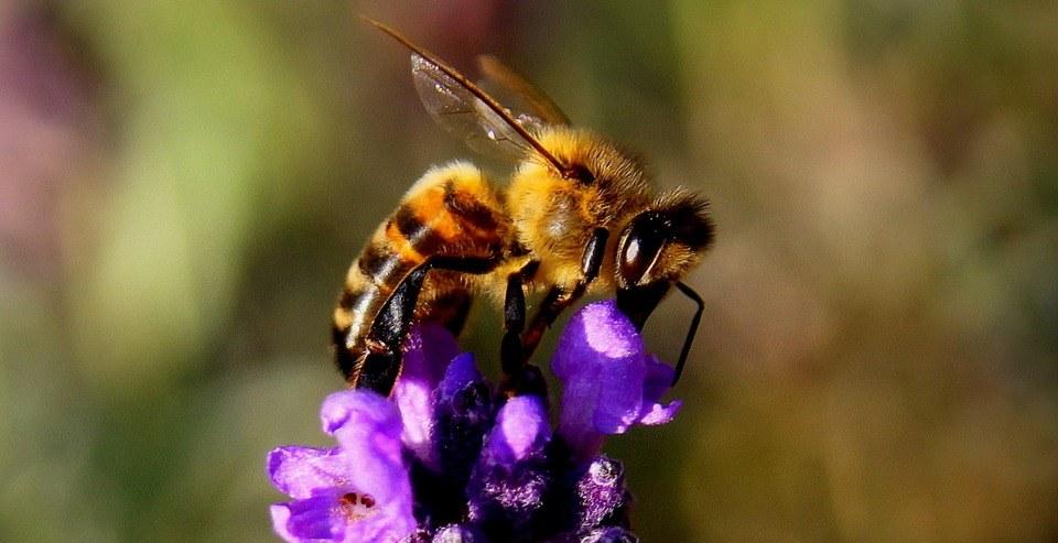 Bee 1040521