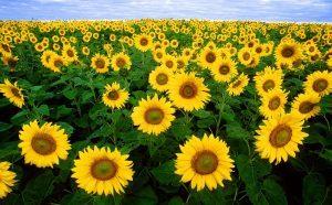 Sunflower 11574