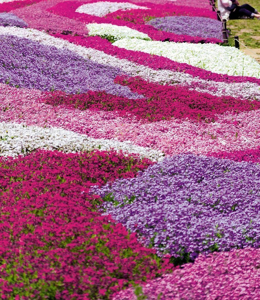 BALDUR Garten Phlox Mix