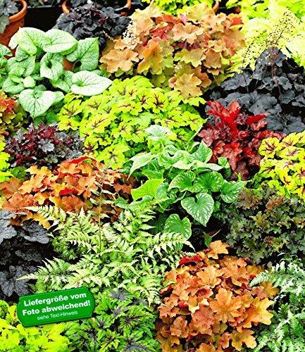 BALDUR Garten Winterharter Bodendecker Blattschmuck Rarit%C3%A4ten Mix 5 Pflanzen Athyrium Heuchera Brunnera