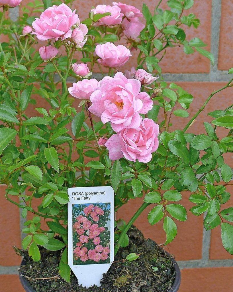 Bodendecker Winterhart Mehrj%C3%A4hrig Bodendecker Rosen Rosa The Fairy Reich Bl%C3%BChende Robuste Rose 20 30 Cm Sommerbl%C3%BCher 10