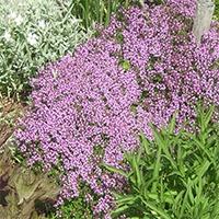 Teppich-Thymian Thymus serpyllum