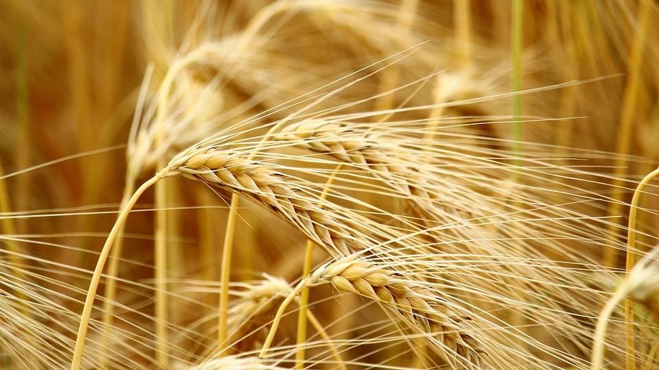 Cereals 2590965