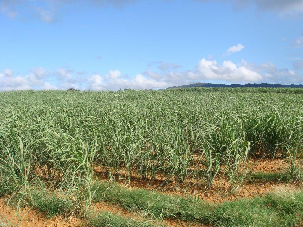 Sugar Cane Fields 568665