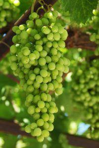 Grapes 16801
