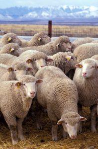 Sheep 710245