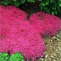 100pcs / bag Creeping Thyme Samen oder Blau ROCK Kressesamen - Perennial Bodendecker Blume, 5 Natürliches Wachstum für Hausgarten
