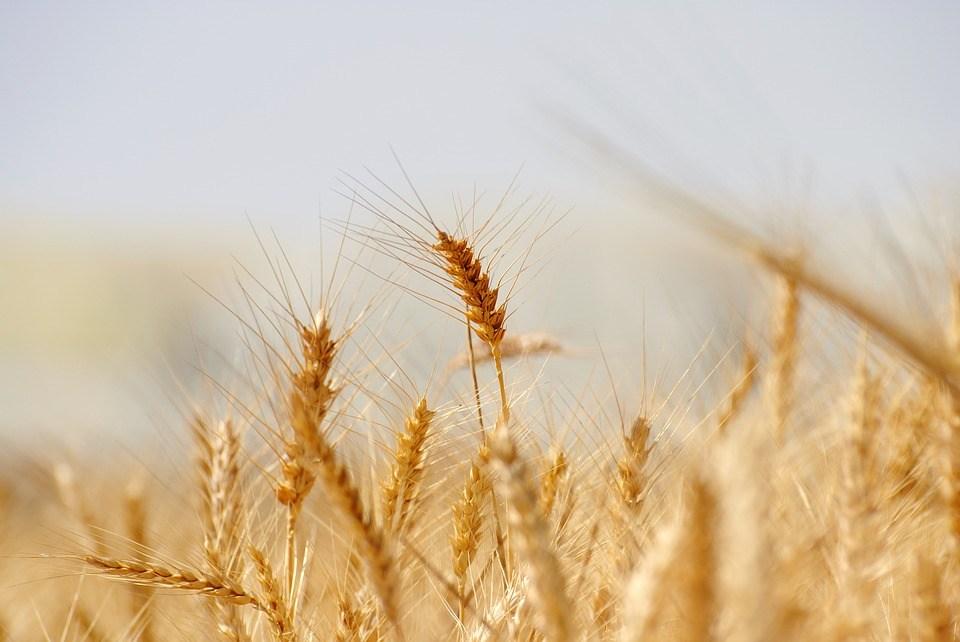 Wheat 3120580