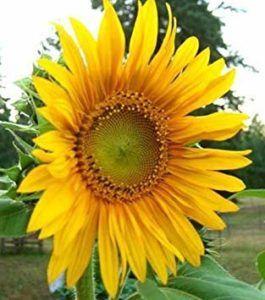 Die Entwicklung des Sonnenblumenöl im Laufe der Zeit im Testvergleich