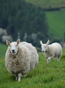 Das Schaf ist für die Wollbeschaffung in der Sockenherstellung existenziell.