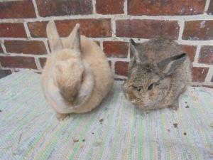 Der Kaninchenhilfe Nordfriesland Verein
