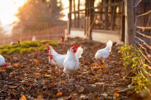 Wie man einfach einen Hühnerstall baut