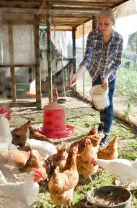 Das sind die Nachteile des Baus eines eigenen Hühnerstalls