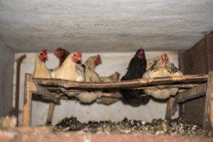 So sieht das Licht- und Luftmanagement beim Bau eines Hühnerstalls aus